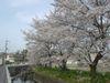 中山町の桜
