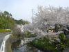 中山町の桜2