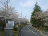 登美ヶ丘中学前の桜