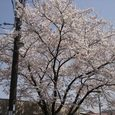 家の前の桜1