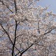 家の前の桜2