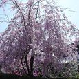 家の裏の桜