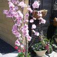 家の近所の鉢植え桜