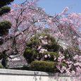 母校(中学)への通学路途中のどっかの家の桜1