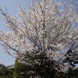 母校(中学)への通学路途中のどっかの家の桜2