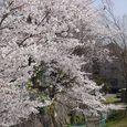 母校(中学)への通学路途中の桜3