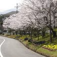母校(登美ヶ丘中学)の前の坂道の桜