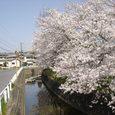 平城中山の桜1
