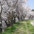 平城中山の桜2