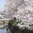 平城中山の桜3