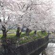 平城中山の桜4