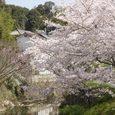 平城中山の桜5