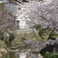 平城中山の桜6