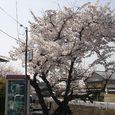 平城中山の桜7