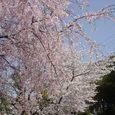 平城中学前の桜