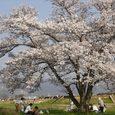 平城旧跡の桜1
