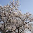 平城旧跡の桜6