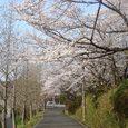 奈良高校の桜1