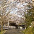 奈良高校の桜3