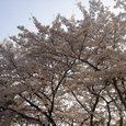 奈良高校の桜4