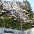 奈良高校の桜9
