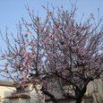 佐保川へ行く途中の桜