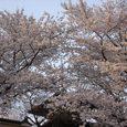 興福寺の桜1