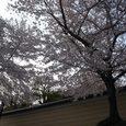 興福寺の桜2
