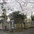 春日大社参道の桜2