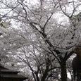 春日大社参道の桜4