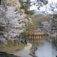 浮見堂の桜1