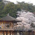 浮見堂の桜3