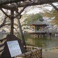 浮見堂の桜4