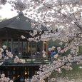 浮見堂の桜6