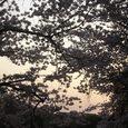 浮見堂の桜8