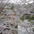 浮見堂の桜9