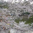浮見堂の桜10