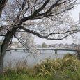 あやめ池の桜8