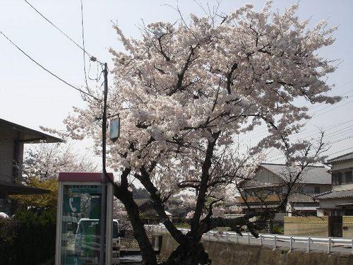 平城中山の桜