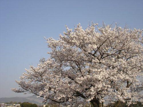 平城旧跡の桜