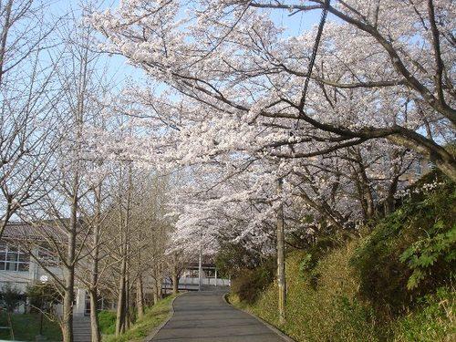 母校(高校)の桜