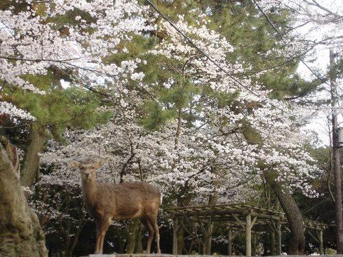 春日大社参道沿いの桜と鹿
