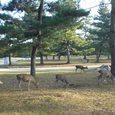 奈良国立博物館前にて鹿の群れ